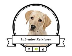 Banderole Labrador Retriever