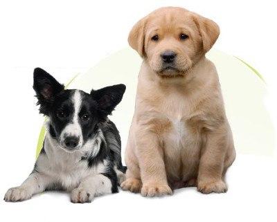 Border Collie und Labrador Retriever