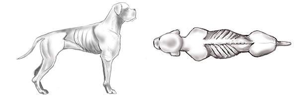 Gesundes Gewicht beim Hund mit Hilfe des BCS 1 bestimmen