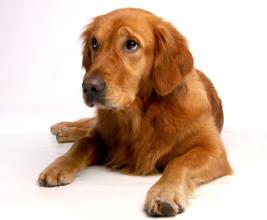 Golden Retriever Blähungen beim Hund