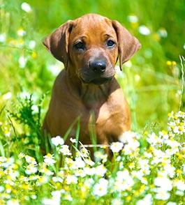 Welpe auf Blumenwiese