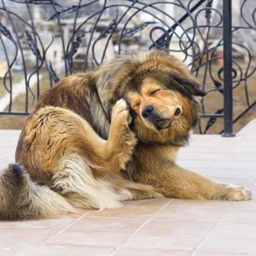 Hund kratzt