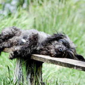 Schlafender alter Hund