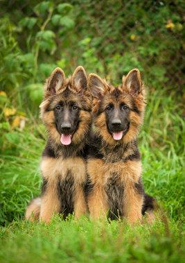 Besonders große Hunde sind von der OCD betroffen