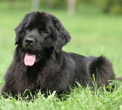 Labrador Retriever - Symptome Morbus Cushing beim Hund