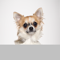 Chihuahua-Foto