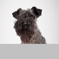 Kerry Blue Terrier-Foto