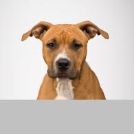 American Staffordshire Terrier-Foto