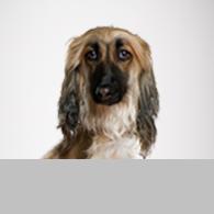 Afghanischer Windhund-Foto