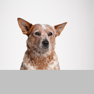 Australian Cattle Dog-Foto