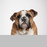 Englische Bulldogge-Foto