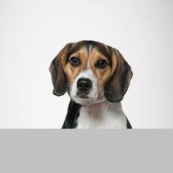 Beagle-Foto