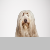 Bearded Collie-Foto