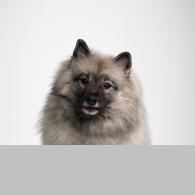 Wolfsspitz-Foto