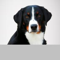 Appenzeller Sennenhund-Foto