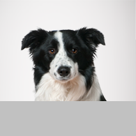 Border Collie-Foto