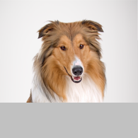Langhaar Collie-Foto