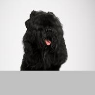 Russischer Schwarzer Terrier-Foto