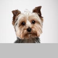 Yorkshire Terrier-Foto