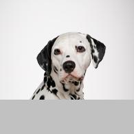 Dalmatiner-Foto
