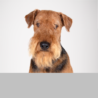 Airedale Terrier-Foto