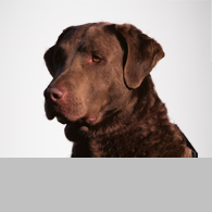 Chesapeake Bay Retriever-Foto
