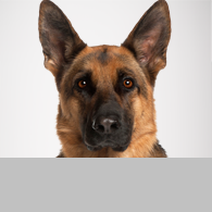 Hunderasse Deutscher Schaeferhund