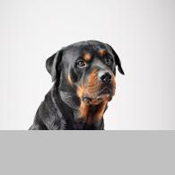 Rottweiler-Foto