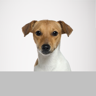Jack Russell Terrier-Foto