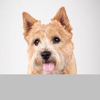 Norwich Terrier-Foto