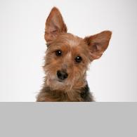 Australian Terrier-Foto