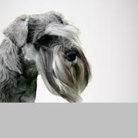 Cesky Terrier-Foto