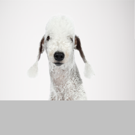 Bedlington Terrier-Foto
