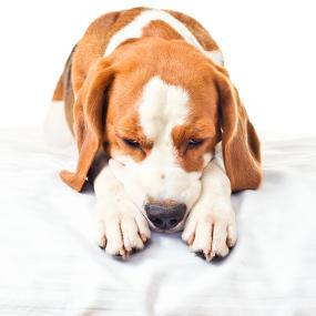 Infektionserkrankungen beim Hund