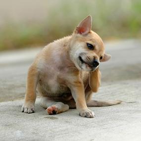 Milben beim Hund