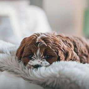 Hund liegt auf Decke - Erste Hilfe