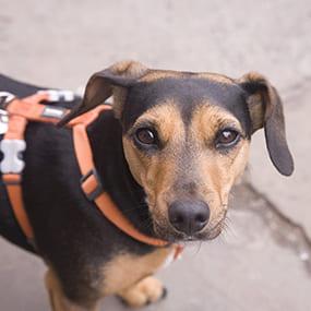 Geschirr oder Halsband beim Hund