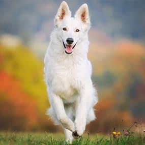 Große Hunderasse: Weißer Schweizer Schäferhund