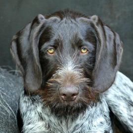 Vorstehhund Deutsch Drahthaar