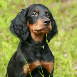 Vorstehhund Gordon Setter