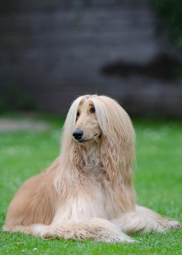 Afghanischer Windhund Rassemerkmale