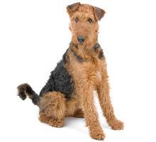 Airdale Terrier Wesen