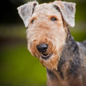 Airdeale Terrier Kachel 1