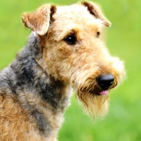 Airdedale Terrier Kachel 2