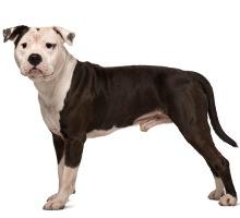 American Staffordshire Terrier Wesen
