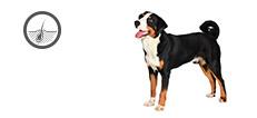 Appenzeller Sennenhund Hündin mit Hautproblemen