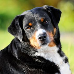 Appenzeller Sennenhund Kachel 2