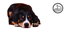 Appenzeller Sennenhund Welpe mit sensibler Verdauung