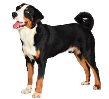 Appenzeller Sennenhund  Wesen