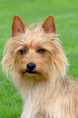 Australian Terrier Rassemerkmale